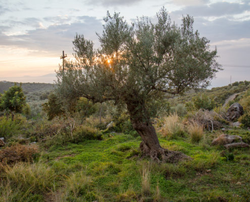 Beautiful Olive Tree on Peloponnesos